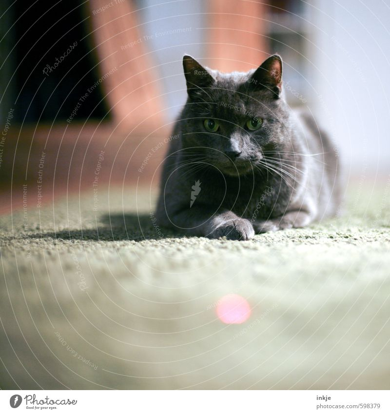 laser pointer Leisure and hobbies Playing Living or residing Living room Animal Pet Cat Animal face Domestic cat 1 Observe Lie Watchfulness Serene Patient