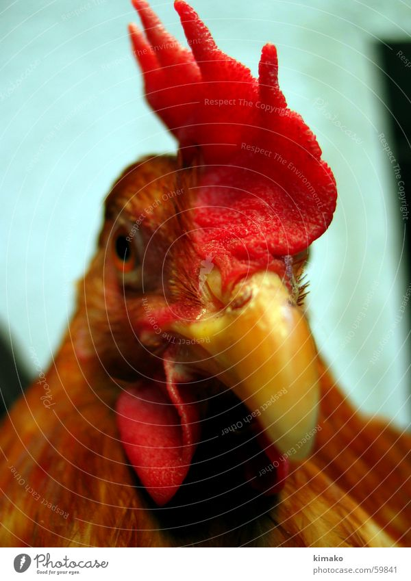 My chicken friend 2 Barn fowl Red Bird Eyes eye