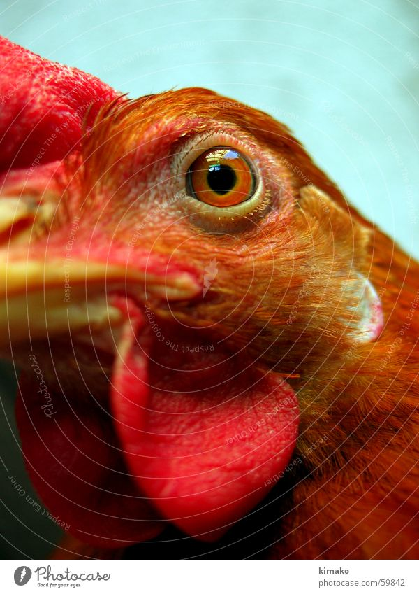My chicken friend 3 Barn fowl Red Bird Eyes eye