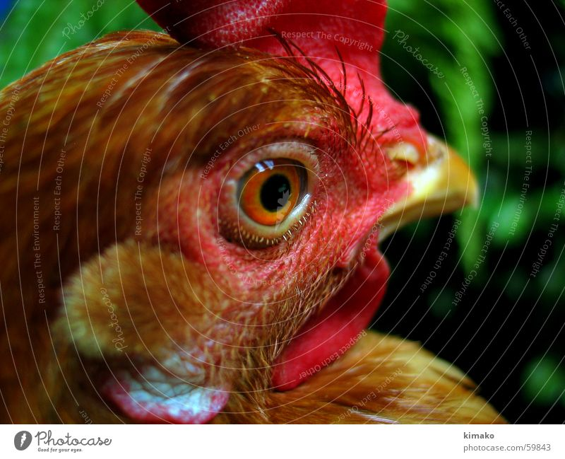 My chicken friend Bird Barn fowl Red Mexico Eyes Head eye