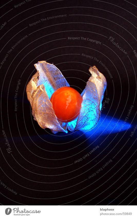Blue Black Nutrition Dream Orange Fruit Still Life Exotic Arranged Physalis Chinese lantern flower