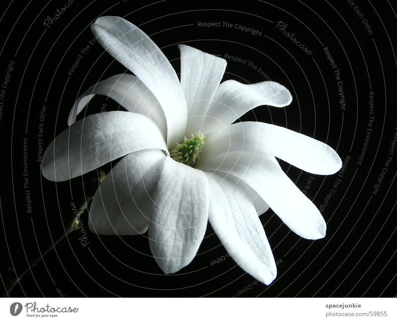 White Green Black Blossom Spring Pistil Blossom leave Magnolia plants Star magnolia