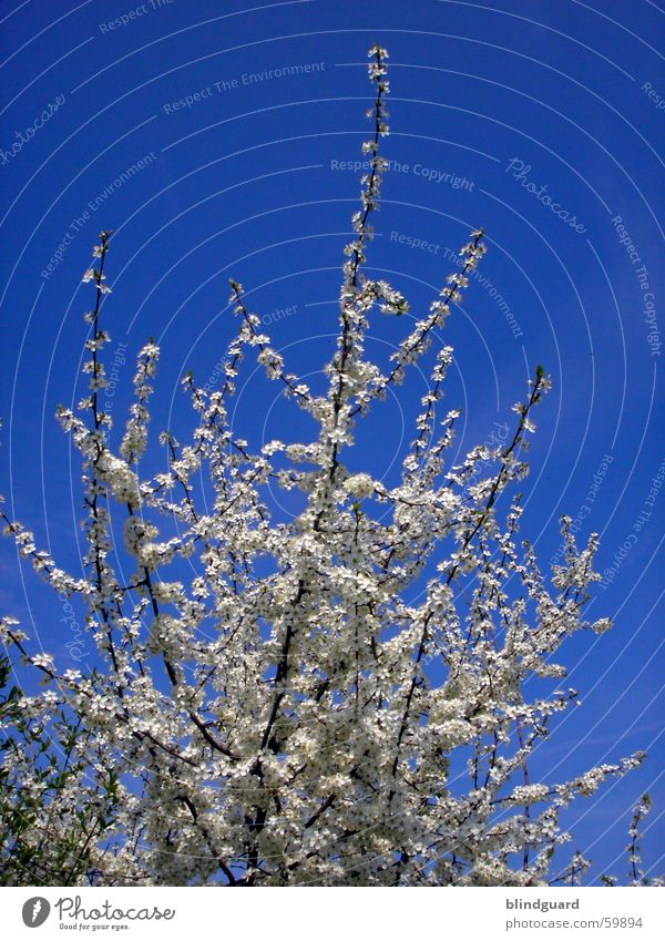 Flower dream dreamt on Blossom Spring Azure blue Jump Sky Blue Branch flower