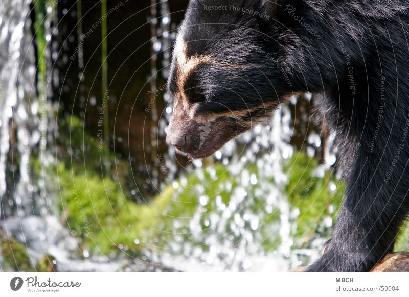 Bear at the water Animal Green Black White Snout Pelt Sun Movement Nose