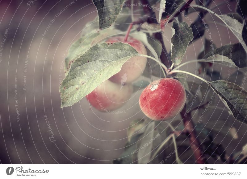 Apple Dream Fruit Organic produce Vegetarian diet Nature Plant Apple tree Tree of knowledge Brown Red Subdued colour Exterior shot