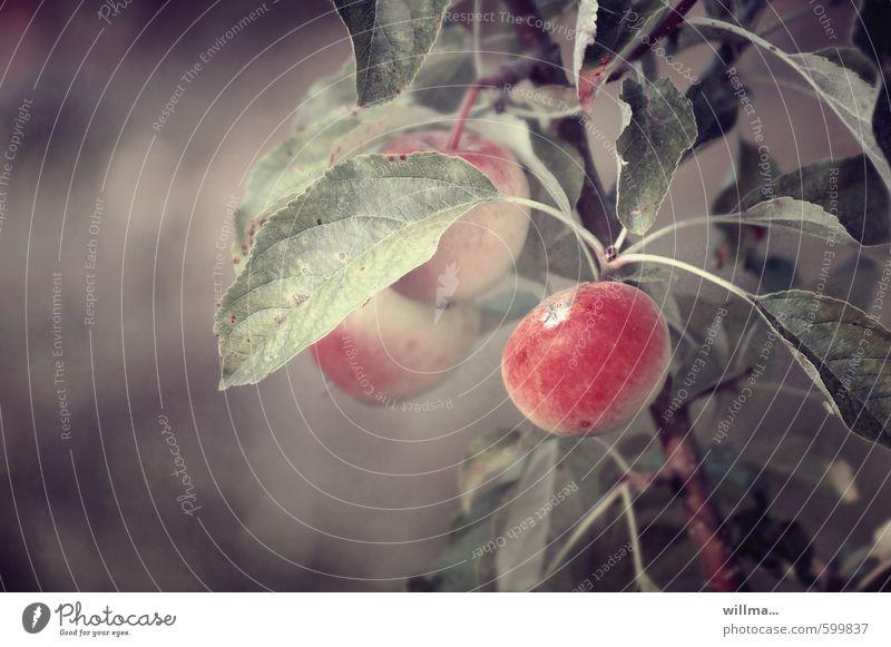 Nature Plant Red Brown Fruit Apple Organic produce Vegetarian diet Apple tree Tree of knowledge