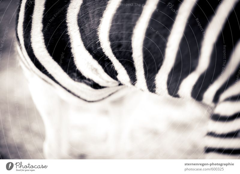 crosswalk Animal Pelt Zoo Petting zoo 1 Black White Zebra Coat care Stripe Black & white photo Exterior shot Detail Copy Space left Copy Space bottom Shadow