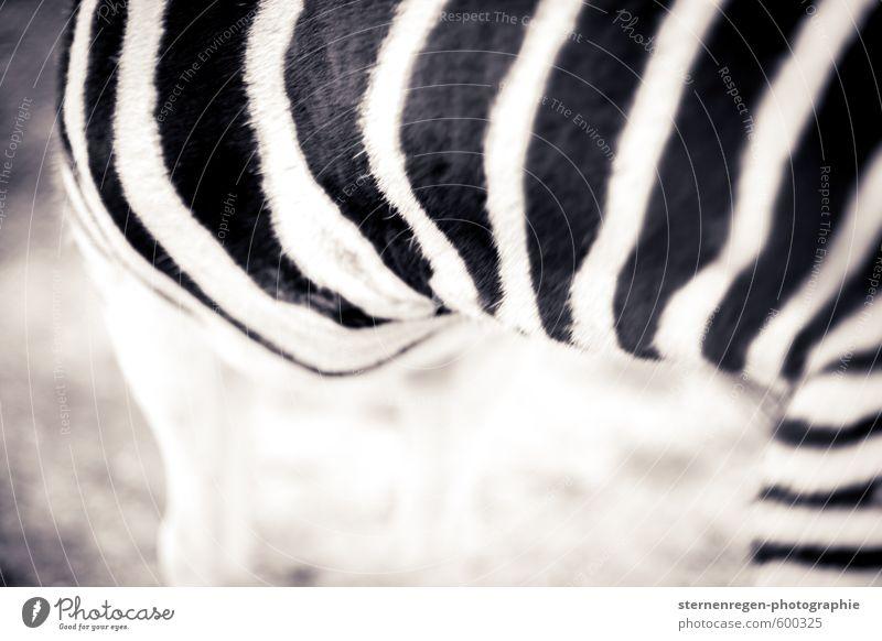 White Animal Black Stripe Pelt Zoo Zebra Petting zoo Coat care