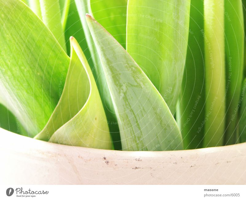 Green Leaf Tulip Vase