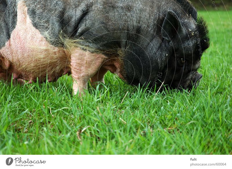 Meadow Nutrition Grass Floor covering Ear Pasture To feed Swine Farm animal Sow Boar Pot-bellied pig