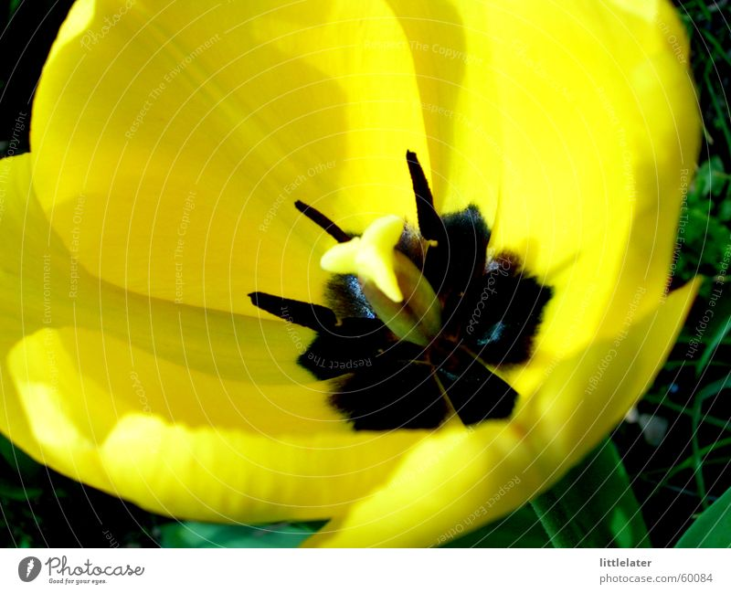 Beautiful Flower Yellow Spring Tulip