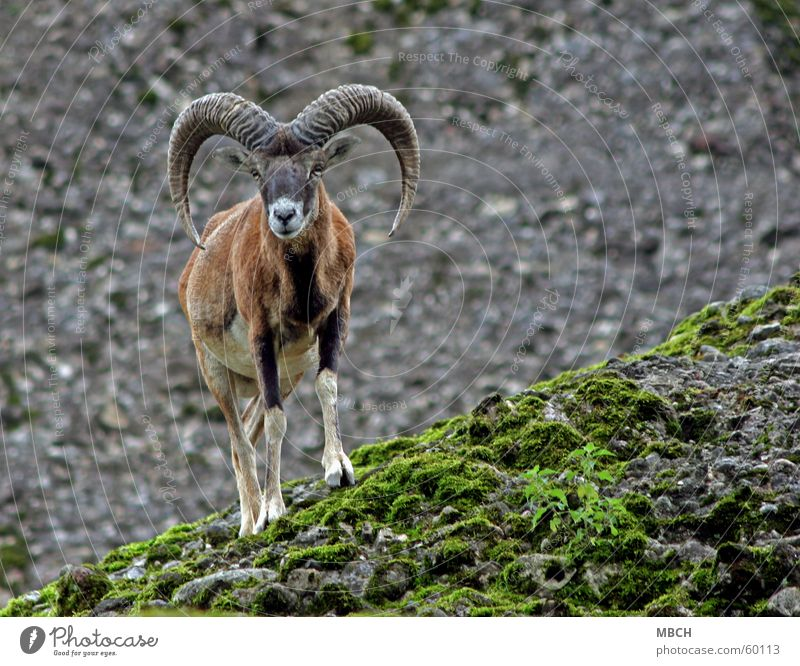 White Green Black Eyes Gray Stone Brown Nose Rock Crazy Circle Antlers Snout Slope Hoof European Mouflon