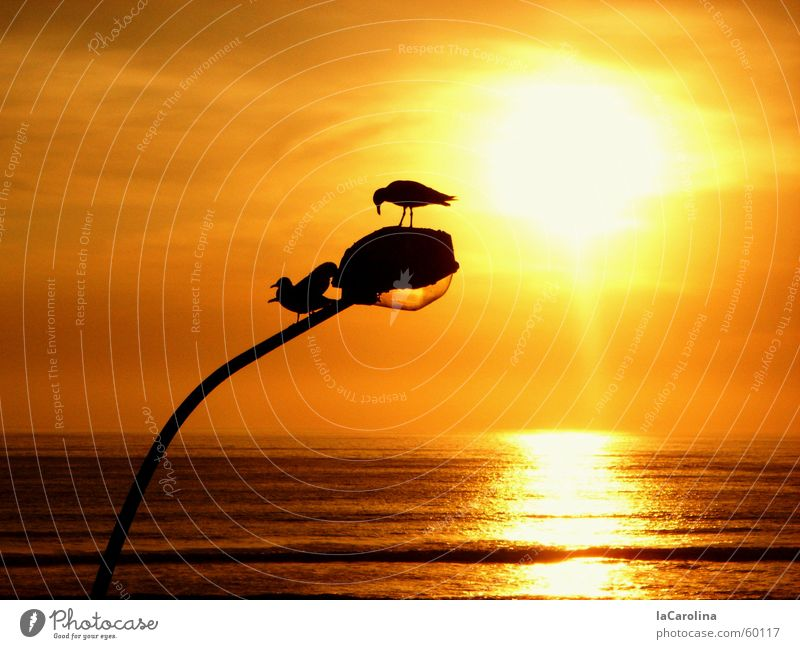 lima sunset Lima Peru Sunset Bird Ocean Light Romance Yellow Reflection Silhouette Lantern Dream Barranco birds Orange