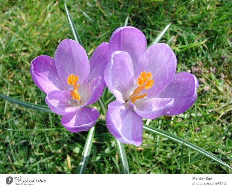 crocus Crocus Flower Spring Meadow Nature Plant Sun Floor covering