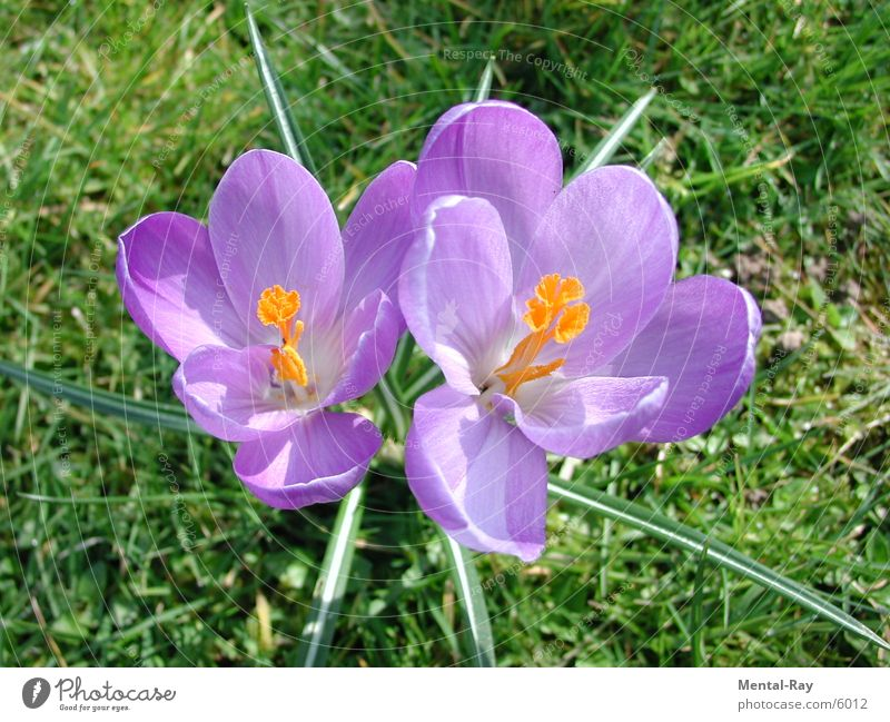 Nature Sun Flower Plant Meadow Spring Floor covering Crocus