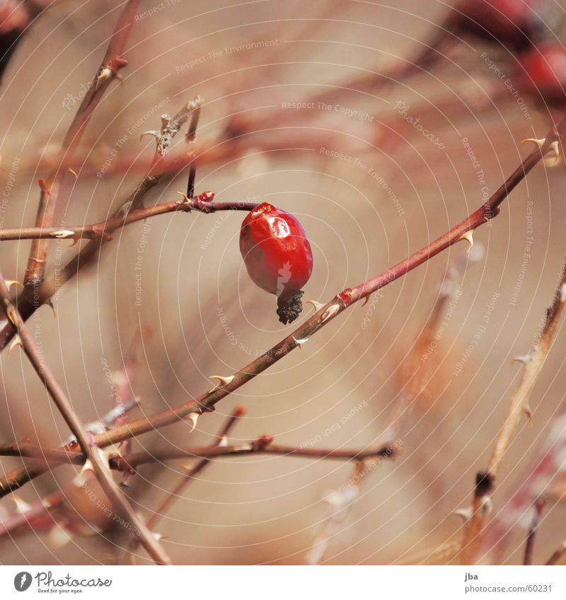 Nature Red Plant Bushes Depth of field Twig Thorny Thorn Thorn Dog rose