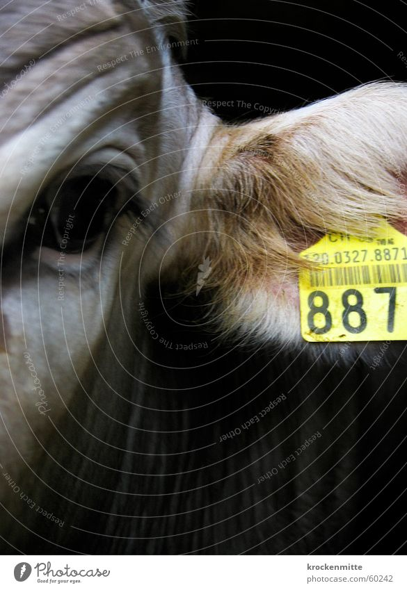 K-U-H-887 Cow Calf Yellow Cattle Farm Animal Digits and numbers Pelt Eyelash Numbers bar code Signs and labeling Wrinkles Norm