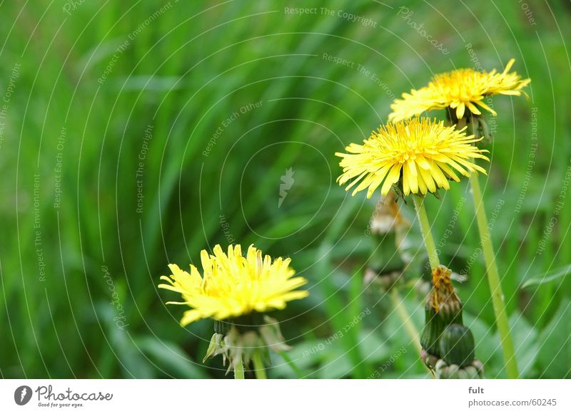 dandelion Dandelion Grass Meadow Yellow Blossom Fresh Spring Nature