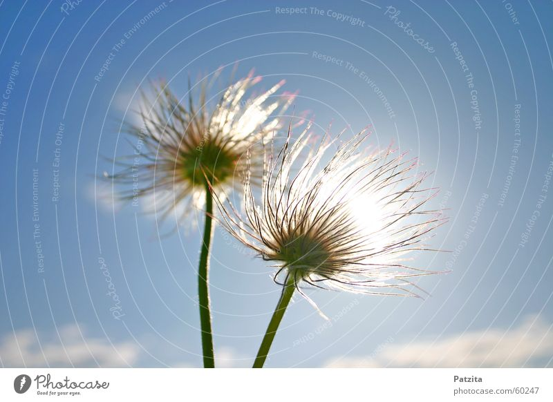 Sky Blue White Green Plant Sun Summer Flower Clouds Meadow Grass Spring Field Spring flower Anemone