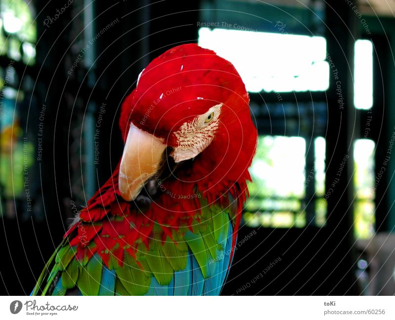 RGB China Parrots Macaw Red Green Beak Temple Bird Cleaning Asia cina Hangzhou west lake region pappagallo parrot rosso verde Blue blu becco Close-up uccello