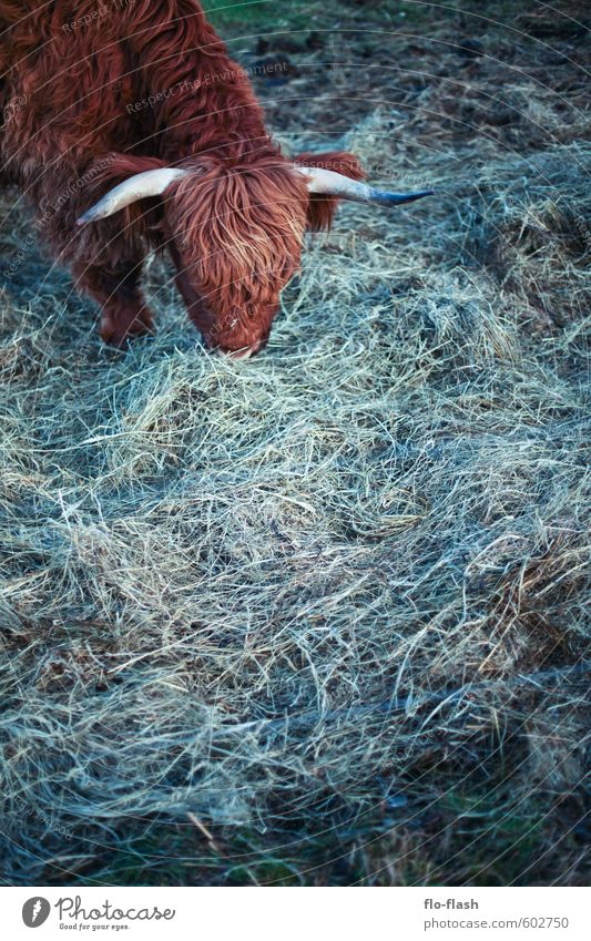 Animal Grass Eating Natural Food Pelt Organic produce Cow To feed Meat Fasting Leather Beard Farm animal Vegetarian diet Love of animals
