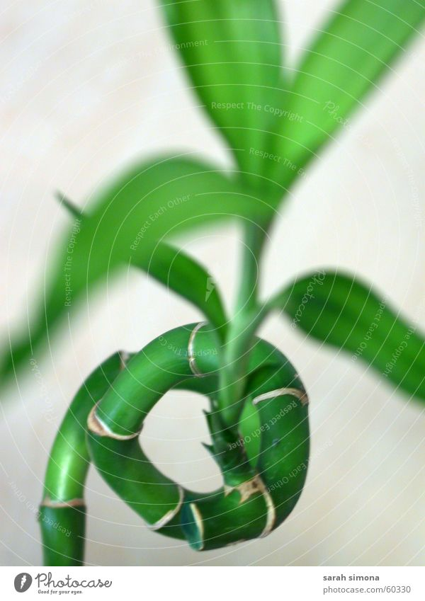 Plant Bamboo Bamboo stick Lucky bamboo