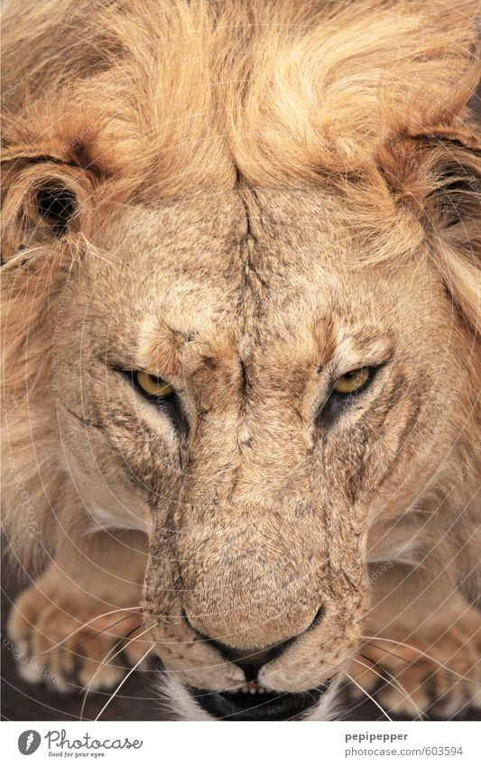 beautiful hair Animal Wild animal Cat Animal face Paw Lion Lion's mane 1 Aggression Old Esthetic Threat Blonde Cool (slang) Muscular Yellow Gold Power Grouchy