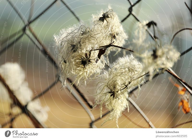 Nature Blue Beautiful White Plant Life Small Natural Orange Soft Easy Ease Seed Untidy Disheveled Clematis