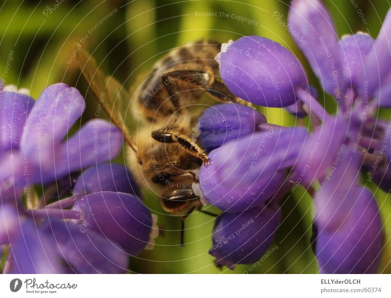 Summer Animal Bar Violet Bee To feed Working man Striped Honey Diligent Cocktail bar Muscari