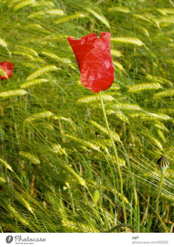Poppy flower in wheat field Flower Wheatfield Green Red Meadow Delicate Wind