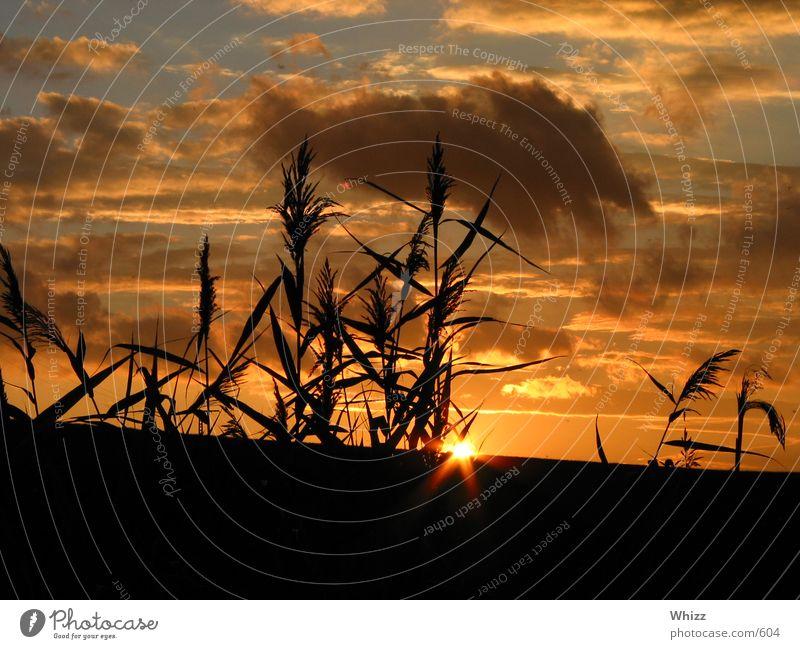 Sun Colour Common Reed