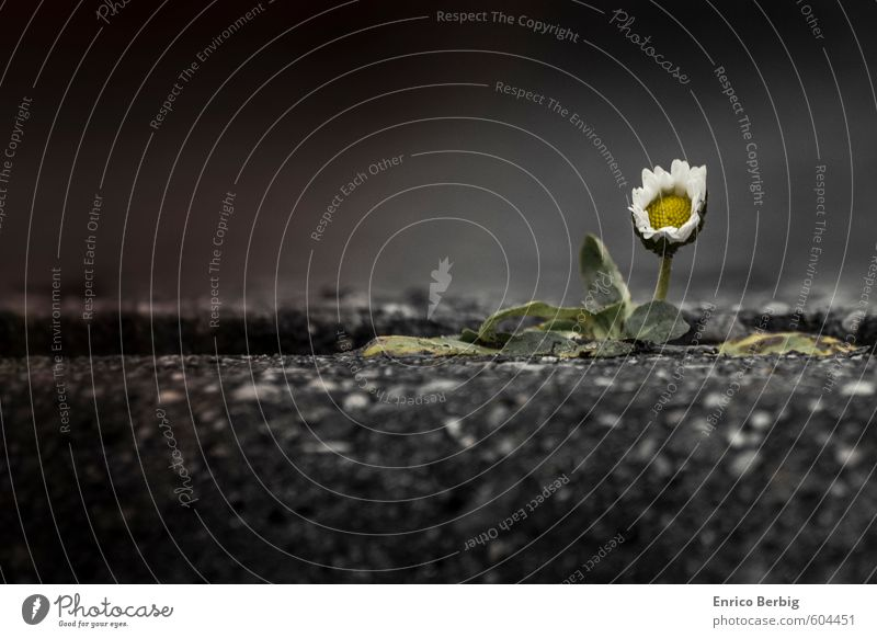 flower in white and yellow (daisy) Nature Spring Plant Flower Blossom Wild plant Street Stone Infinity Yellow White Power Daisy Curbside Colour photo