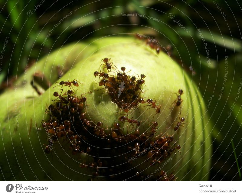 Ants paradise Green Meadow Decompose Putrefy Horror Helpless Broken Insect ants Apple rot Nutrition Delivered Dominant