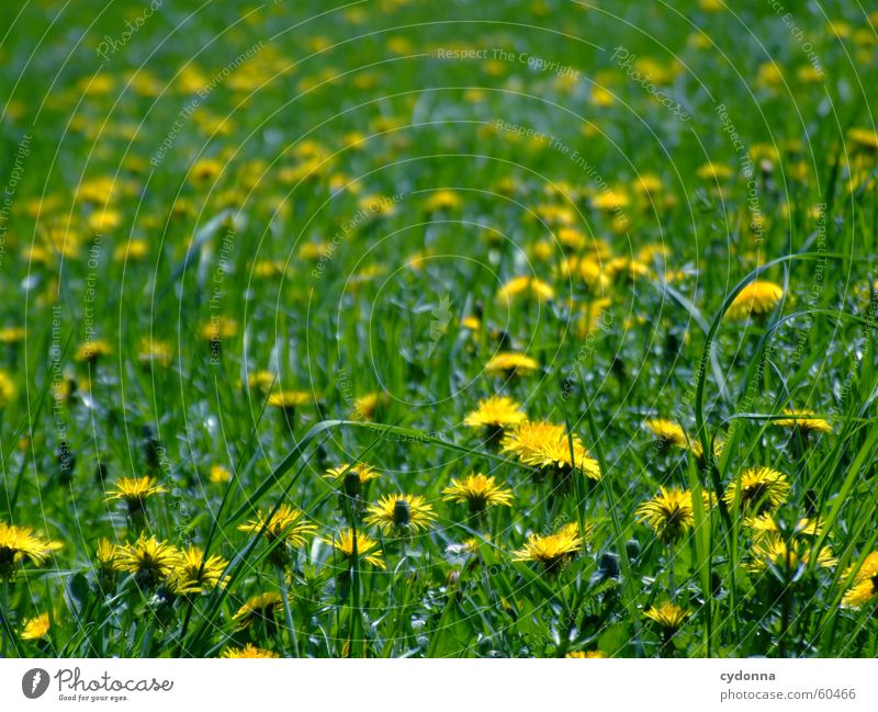 spring meadow Spring Meadow Flower Blossom Dandelion Yellow Green Blur Lawn for sunbathing Sun Joy Detail