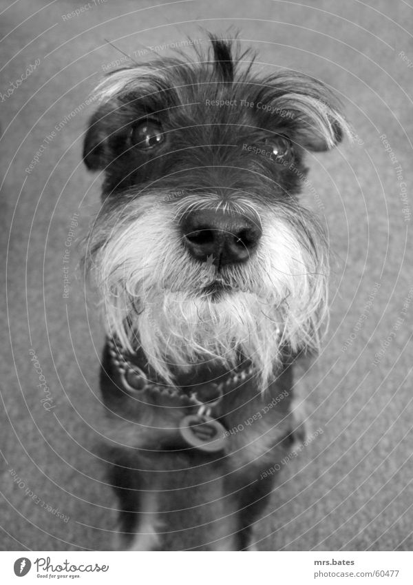 rudi Dog schnauzer Black & white photo