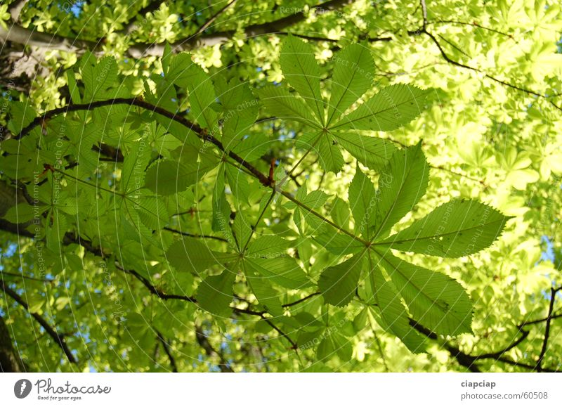 Tree Green Leaf Park Chestnut tree Bilious green