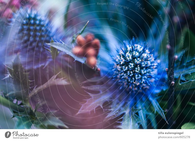 blue Nature Plant Flower Leaf Foliage plant Bouquet Natural Dry Blue Exotic Thistle Thistle rose Thistle blossom Thorny Colour Beautiful Verdant Biological