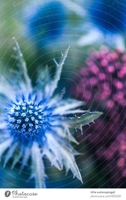 * Plant Foliage plant Bouquet Natural Blue Pink Colour Nature Thistle Thistle rose Colour photo Exterior shot Macro (Extreme close-up)