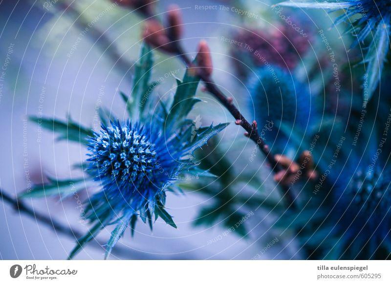 blue Nature Plant Flower Decoration Bouquet Natural Wild Blue Dried flower Thistle Thistle leaves Twig Bud Blur Violet Colour photo Interior shot