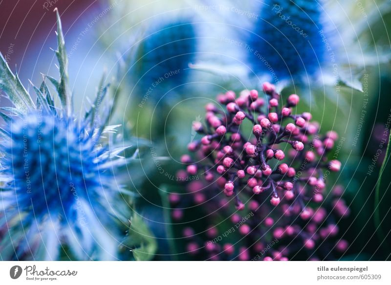 oOO Plant Flower Bushes Leaf Blossom Exotic Garden Bouquet Blossoming Natural Original Round Beautiful Point Thorny Blue Pink Colour Nature Thistle Colour photo