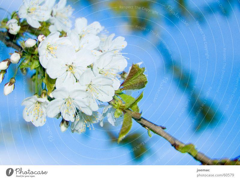 Sky White Blue Blossom Branch Bud Cherry Cherry blossom Cherry tree