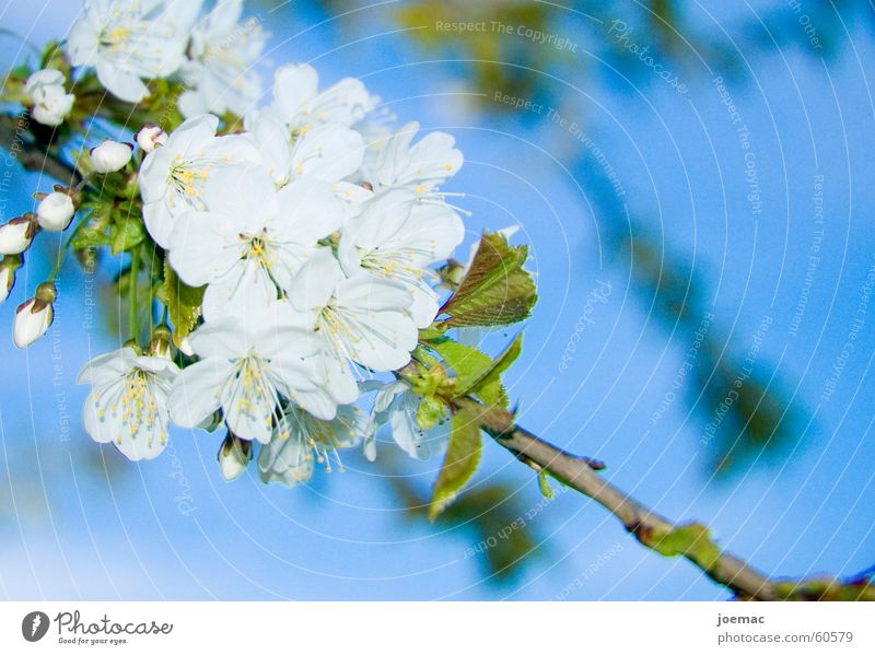Sky White Blue Blossom Branch Bud Cherry Cherry blossom Cherry tree