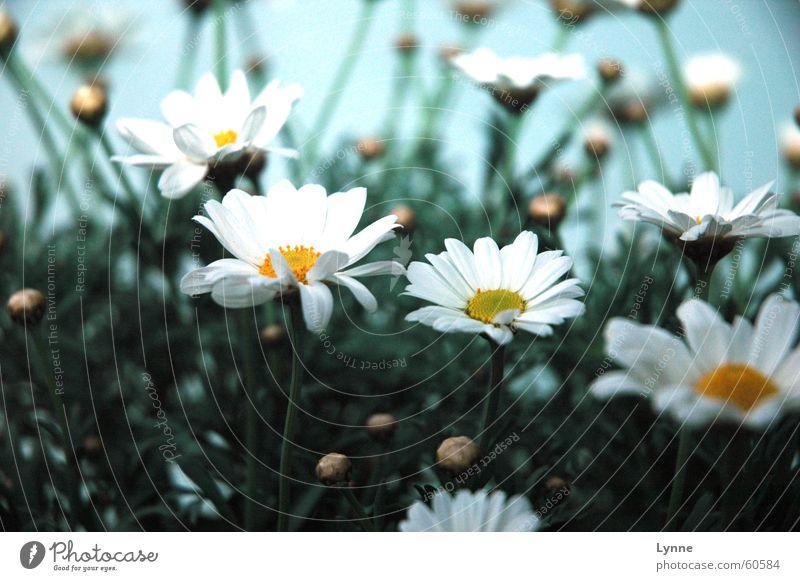 White Flower Green Blue Yellow Blossom Spring Stalk Blossoming Bud