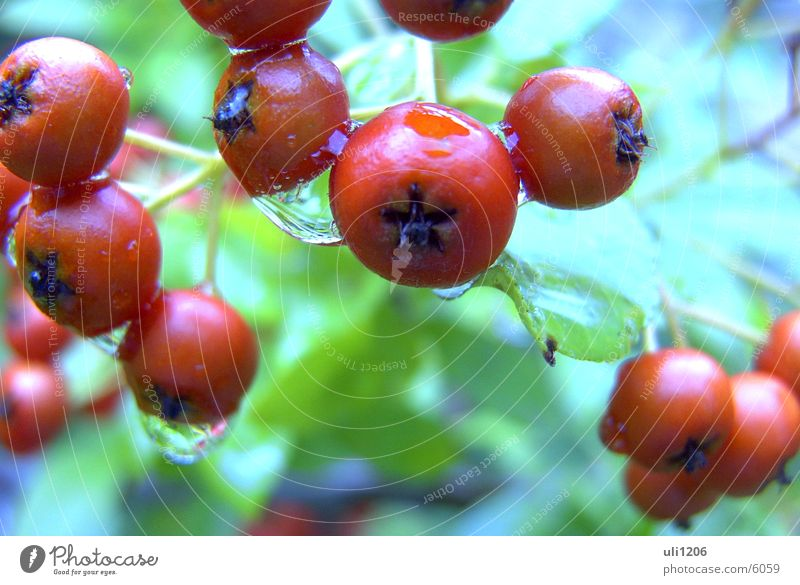 Rain Drops of water Berries Macro (Extreme close-up)