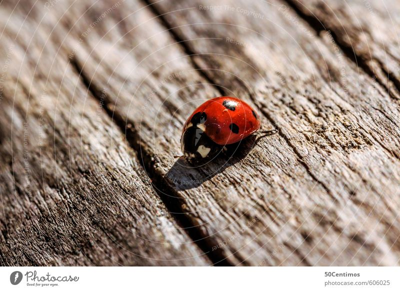 Ladybird on the wooden table Zoo Animal Beetle 1 Wood Nature Colour photo Exterior shot Macro (Extreme close-up) Animal portrait