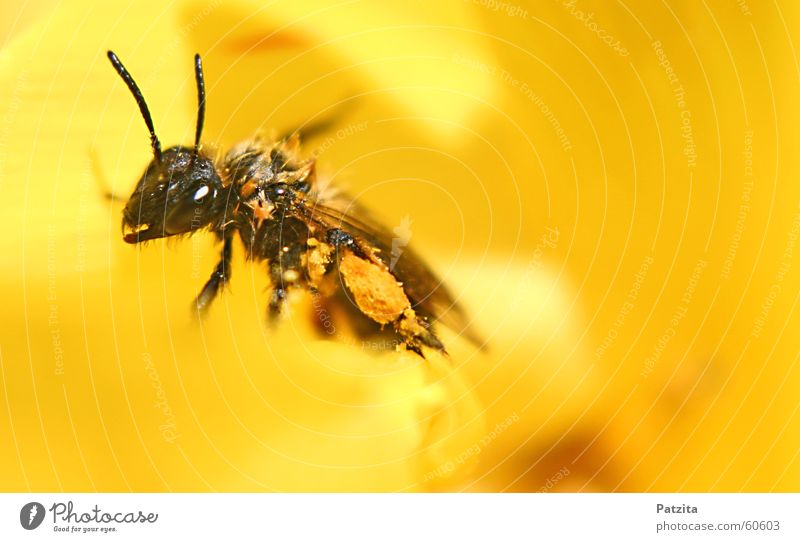 Flower Animal Black Yellow Meadow Grass Bee Insect Beetle Honey Bee-keeper Maya the Bee