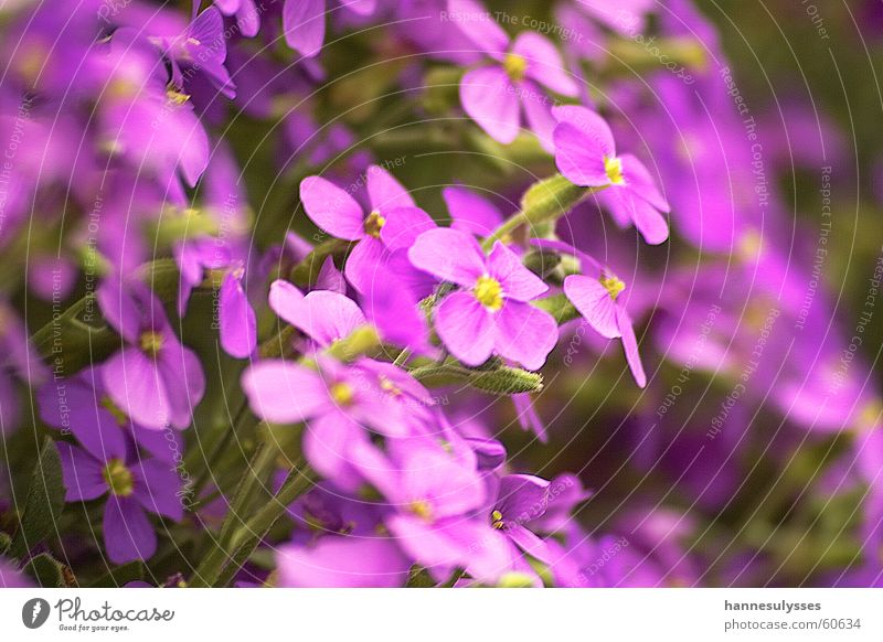 Flower Blossom Violet