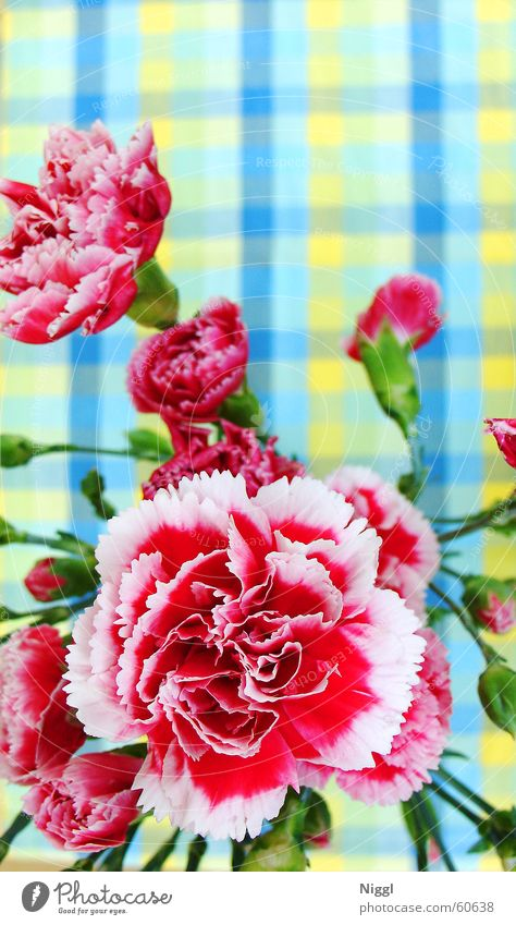 Nature Flower Green Blue Plant Red Yellow Checkered Intensive Dianthus