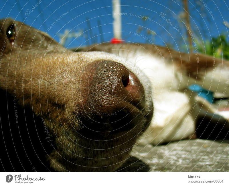 Sky Blue Dog Brown Nose Sleep Animal