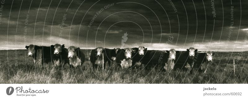 Loneliness Landscape Cow Appetite Boredom Mammal Australia 10 Calf
